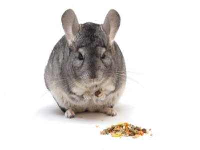 chinchilla-eating-shutterstock_45578434